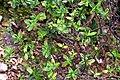 Veronica insularis in Wellington Botanical Garden 01.jpg