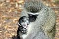 Vervet monkey and baby.jpg