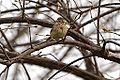 Vesper Sparrow (13960291682).jpg