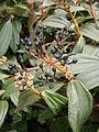 Viburnum davidii 02.jpg
