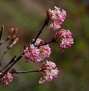 Viburnum - Viburnum grandiflorum