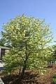 Viburnum prunifolium 9zz.jpg