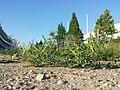 Vicia angustifolia subsp. segetalis sl24.jpg