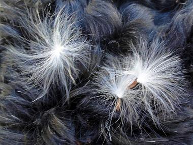 Vincetoxicum rossicum SCA-05251.jpg