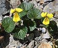 Viola crassa subsp. alpicola.jpg