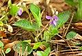 Viola hirta 06.jpg