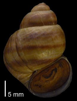 Viviparus viviparus - Orne Caen France - P1010084