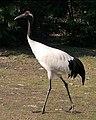 Vogel-Grus japonensis-Chinese kraanvogel.jpg