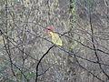 Vogelfutternetz (fcm).jpg