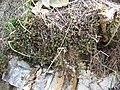 Vrch Káčov, rostlina III.jpg