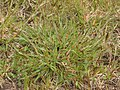 Vroege haver plant (Aira preacox).jpg