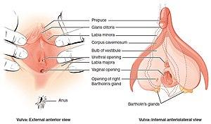 Vulva Figure 28 02 02.jpg