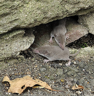 Greater white-toothed shrew - Image: WLMMH (Der Hexer) 022
