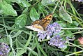 Wall brown (NH) (8096461099).jpg