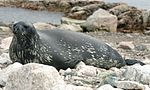 Weddell Seal (js)1 (cropped).jpg