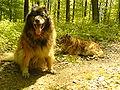 Westerwaelder Kuhhund 4.JPG