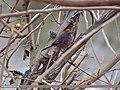 White-browed Tit Warbler (Leptopoecile sophiae) (15894554345).jpg