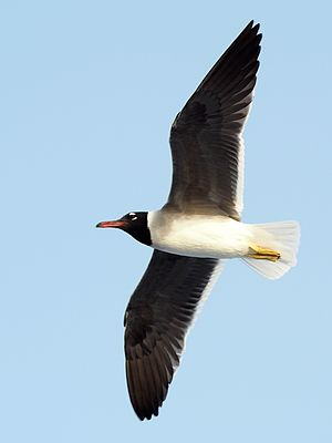 White-eyed gull - White-eyed gull at the Red Sea