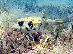 White-spotted puffer.jpg