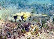 White-spotted puffers are often found in sea grass areas.
