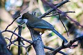 White-throated Laughingthrush at Nagarkot (4).jpg