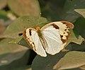 White Orange Tip (Ixias marianne)- Female I IMG 1135.jpg
