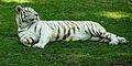 White Tiger, Guadalajara Zoo.jpg
