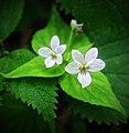 White Violets (14101152439).jpg
