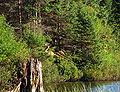 Whitetail deer on Lows Lake.jpg