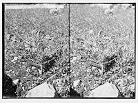 Wild flowers of Palestine. Yellow milkvetch (Astragalus macrocarpus DC.). LOC matpc.02423.jpg