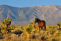 Wild horse at sunrise below Mt. Charleston Wilderness (19357733843).jpg