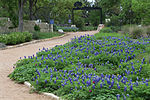 Wildflower Center bluebonnet trail.jpg