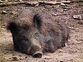 Wildpark Klein-Auheim Alte Fasanerie schlafendes Wildschwein Juni 2012.JPG