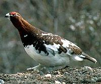 WillowPtarmigan23