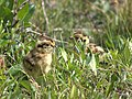 Willow Ptarmigan chicks.jpg