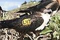 Wing tag Great Frigatebird.JPG
