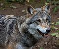 Wolf je1-2.jpg