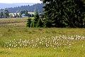 Wollgras im Westlichen Thüringer Schiefergebirge bei Siegmundsburg (2013-07-14 WDPA ID 555537668).jpg