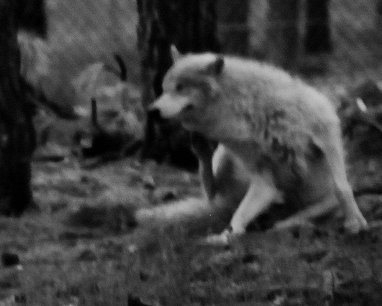 File:Wolves 3 (7177923198).jpg