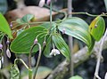 Wombat berry flower bud snowy river by Echidna Walkabout.jpg