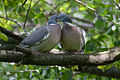 Wood Pigeon Lodz(Poland)(js)02.jpg