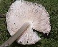 Wood Pinkgill, Entoloma rhodopolium (22374794751).jpg