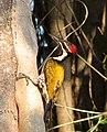 Woodpecker (2124976168).jpg