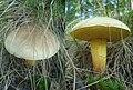 Xerocomus subtomentosus Podkomorské lesy.jpg