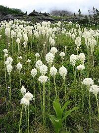 Xerophyllum tenax - Glacier National Park