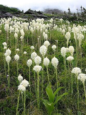 Xerophyllum tenax - Glacier National Park, Montana