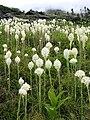 Xerophyllum tenax - Glacier National Park.jpg