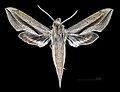 Xylophanes robinsonii MHNT CUT 2010 0 181 Miramar (La Habana), male dorsal.jpg