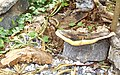Yard Mushroom - panoramio.jpg