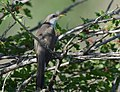 Yellow-billed Cuckoo (34226080373).jpg